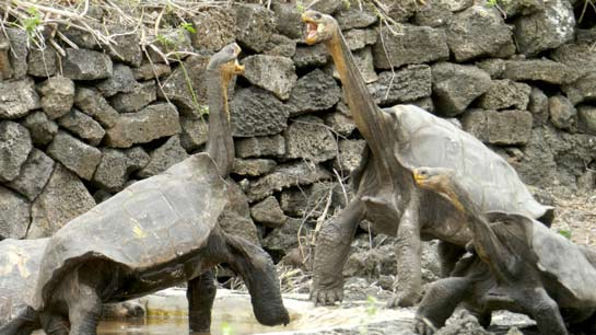 Two male tortoises craning their necks in a display of aggression. Image Credit: Dr. Joe Flanagan