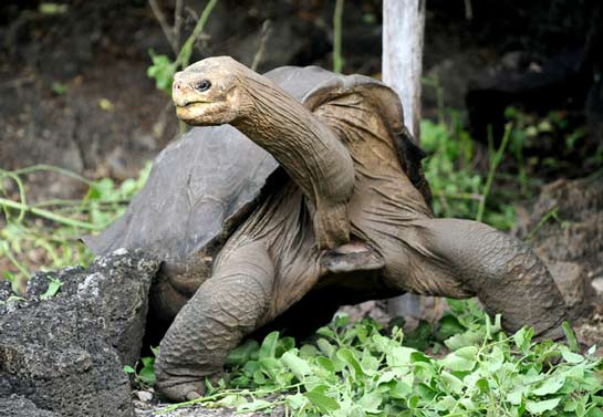 Lonesome George, the last known Pinta Island tortoise, died in 2012. Image Credit: Credit Rodrigo Buendia/Agence France-Presse — Getty Images